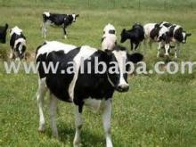 Healthy Pregnant Holstein Heifers Cattle For Sale