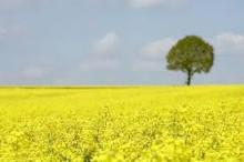 Premium Crude Canola or Rapeseed Oil