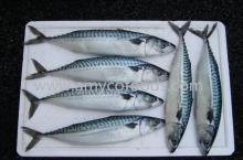 Frozen Pacific Mackerel high quality