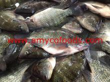 Black Tilapia Fish Whole Round Fresh Frozen