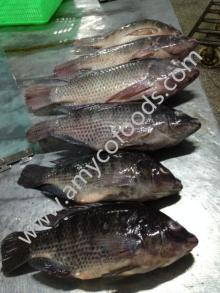 Frozen Tilapia whole round high quality from good producer in China