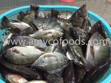 Tilapia fish high quality assured