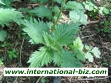 Nettle root Extract, Nettle Extract