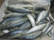 Quality frozen mackerel size 300-500