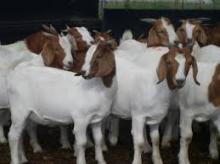 LIVE BOER GOATS,LIVE CHICKEN,LIVE CATTLE,PIG,DOVE