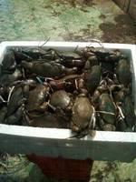 live mud crab for sale