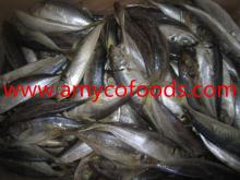 Sea Frozen Horse mackerel W/R size 130-150g (20cm+)