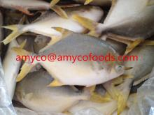 High Quality Golden Pompano/Pomfret cage farmed in deap sea