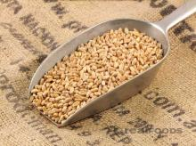High Quality Wheat Grain for sale