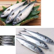 Frozen Spanish Mackerel Fish high quality