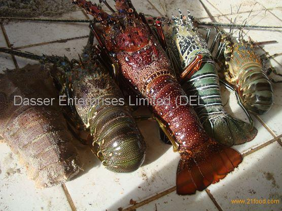 Lobster live/frozen products,Tanzania Lobster live/frozen supplier556 x 417 jpeg 59kB
