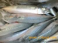 fresh fresh allaska pollock fish for sale