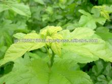 Sterilized Q3MG mulberry leaf powder
