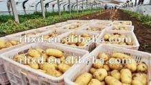 Fresh Holland Potato 2012 New