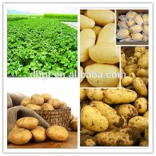 big fresh vegetable supplier/export potato to India and Dubai