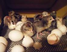 Fertile Hatching duck eggs