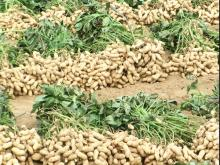 2014 hot sale air  dried  tasty peanut with ISO,  KOSHER , exporting for years