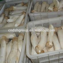 Pleurotus Eryngii / King Oyster Mushroom