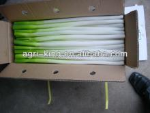 green house for  iqf   green   onion