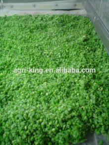 export iqf green beans