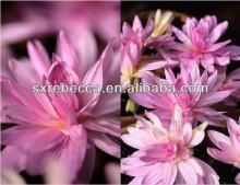 meadow saffron extract Colchicine powder GMP factory