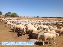 AUSTRALIAN LAMB MEAT HIGH QUALITY