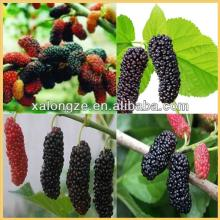 natural plant extract of Mulberry Leaf or mulberry Morus alba L /mulberry leaf extract/mulberry frui