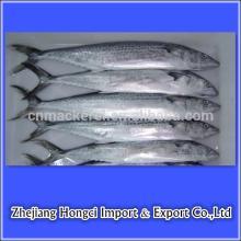 frozen   fish   spanish   mackerel  in good quality