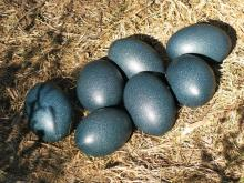 Hatching Emu Eggs For Sale