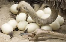 Ostrich And Emu Eggs For Sale