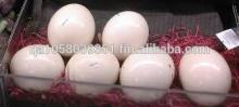 Available Quality Hatcing Ostrich egg for sale