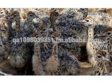 Cheapest Ostrich Chicks for Sale You Can Import from China