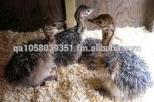 OSTRICHES CHICKS AT AFFORDABLE PRICES