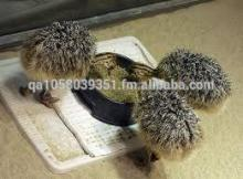 Hot in sale newest ostrich chicks