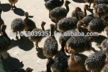 Great Quality ostrich chicks
