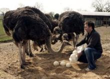 Fertile and  Fresh   Ostrich   Eggs  and Chicks For Sale
