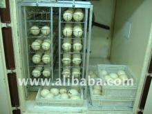 DAY OLD CHICKS AND FERTILE OSTRICH EGGS NOW AVAILABLE FOR SALE.
