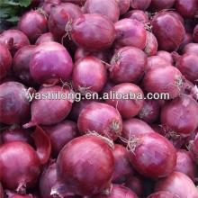 fresh onions india export to dubai