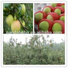 Hot !2014 new crop fresh green gala apples in bulk as a wholesale supplier and exporter