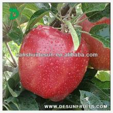 new season chinese fresh red delicous sweet crispy vitamin and minerals Tianshui huaniu apple