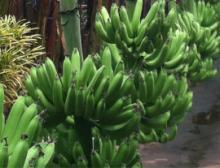 Fair Trade, Organic Bananas