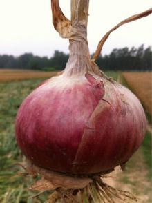 yelllow onion for  japan   export  yellow onion for dubai samall size