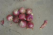 big red onion 80mm to dubai for east timor export to thailand to indonesia