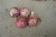 china fresh red small onion export