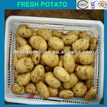 Grade A Chinese Holland potato 2012 new crop (100-200g)