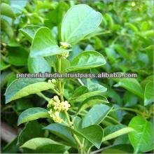 Gymnema  extract GMP,  Gymnema  extract 75% Gymnemic Acid /  Gymnema   sylvestre  extract 25% / Gurmar Extr