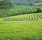 High Quality Oolong Tea Extract Powder in Bulk Supply