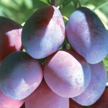 Hydrolyzed Prunus Domestica (Plum) Clairju Natural Cosmetic Ingredient