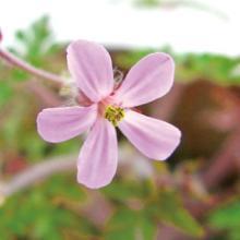 Geranium Robertianum(Herb Robert) Extract PrincessCare Natural Cosmetic Ingredient