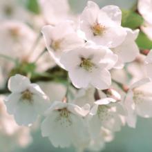 Prunus Yedoensis Leaf Extract SAKURA Extract B Natural Cosmetic Ingredient